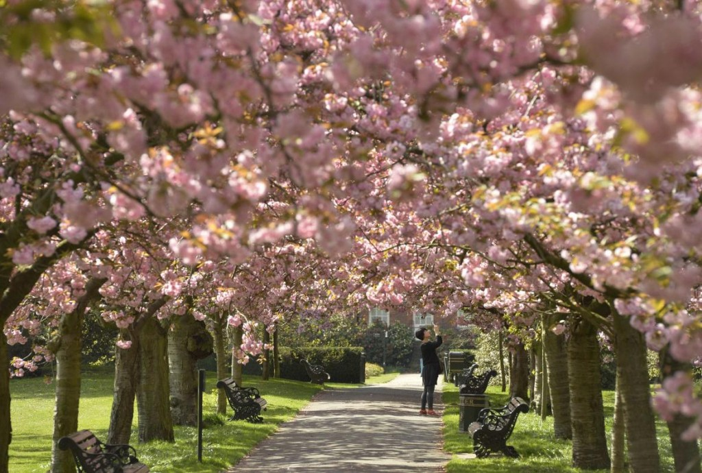 cherry-blossoms-london-april-10-2