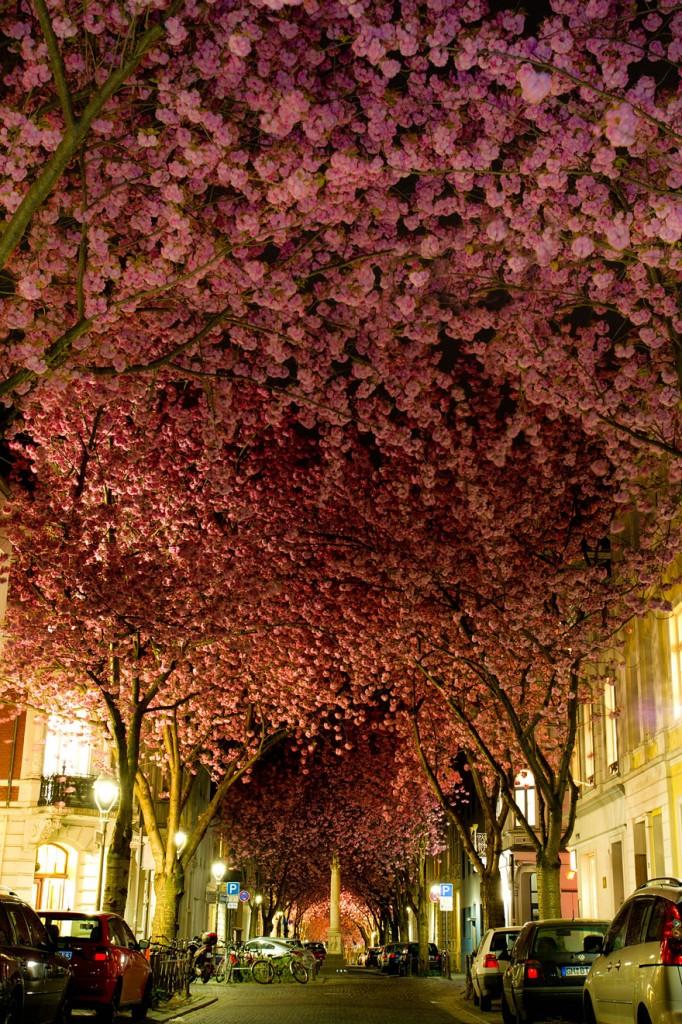 cherry-blossoms-sakura-spring-10