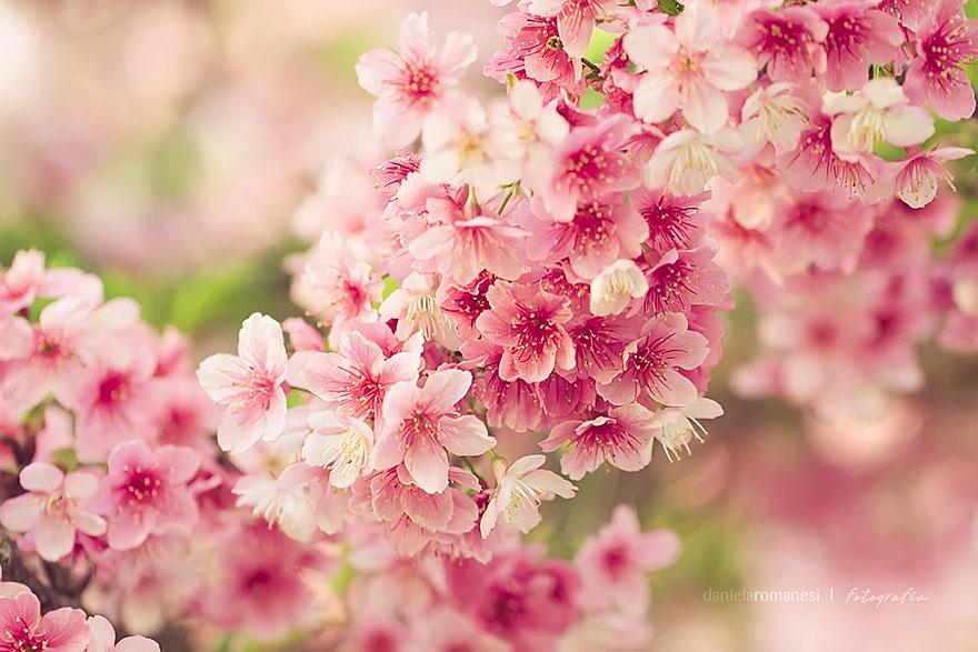 cherry-blossoms-sakura-spring-14