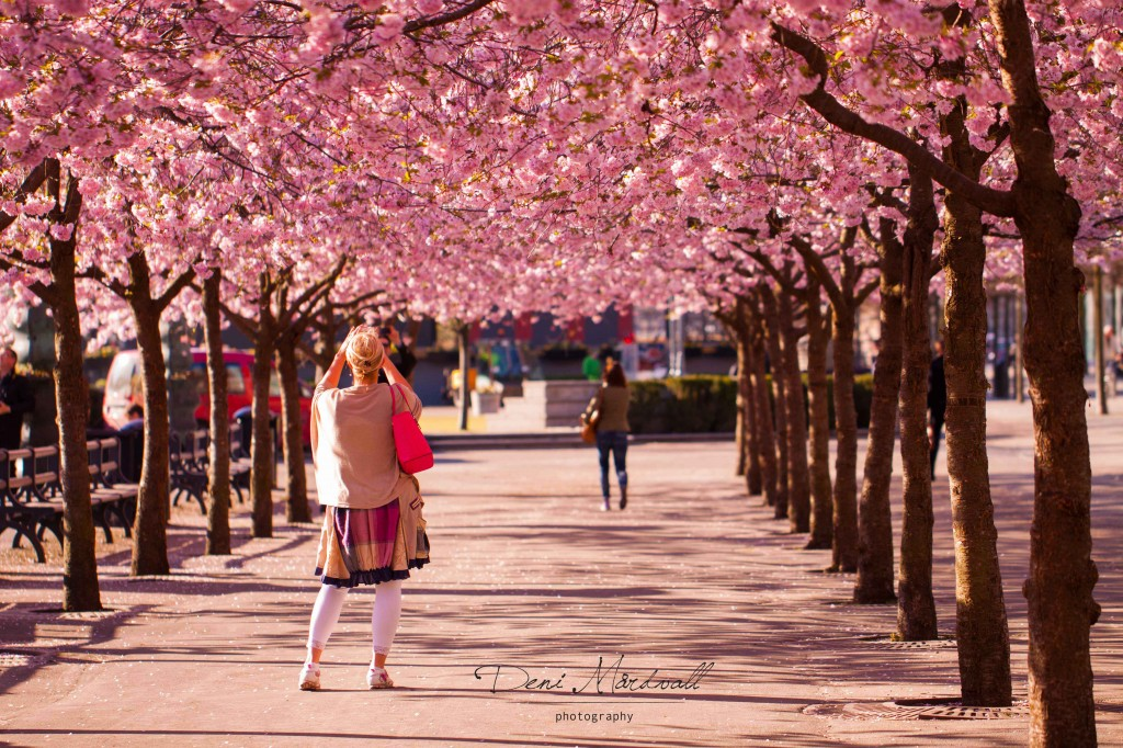 under-the-cherry-blossoms_1